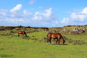 Wild horses roam Easter Island