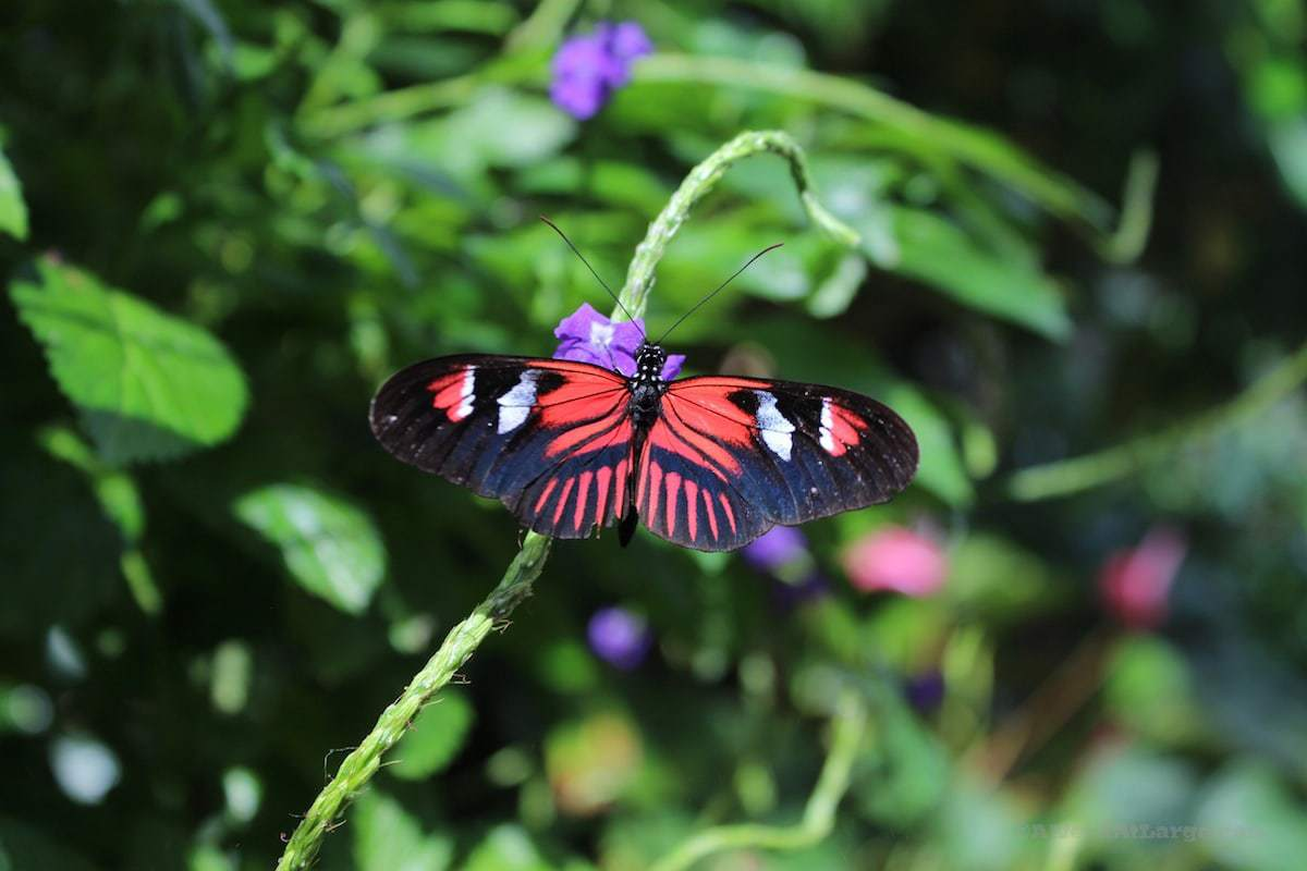 Niagara Butterfly Conservatory black orange butterfly on purple flowers