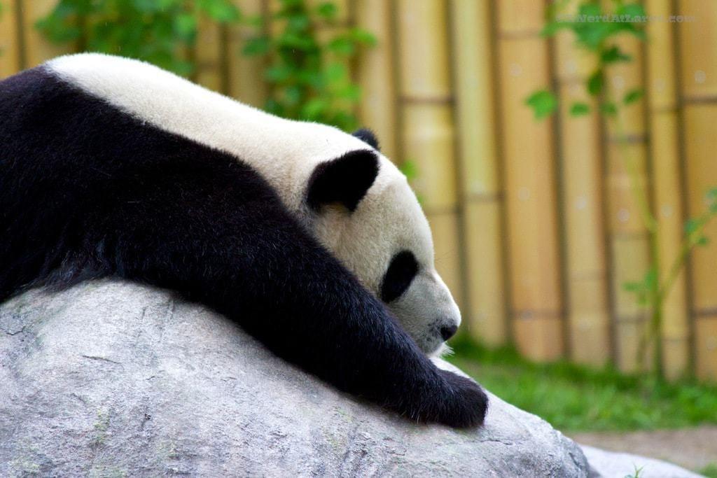 Toronto Zoo Panda Da Mao